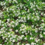 Aronia melanocarpa Ground Hog