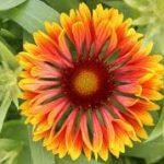 Gaillardia aristata SpinTop Copper Sun