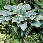 hosta-regal-splendor