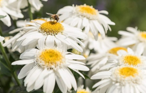 Leucanthemum s. Sweet Daisy Birdy