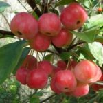 Malus Crabapple Rescue
