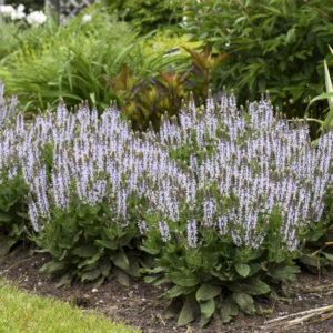 Salvia nemorosa Bumblesky