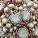 sempervivum-arachnoideum-cobweb