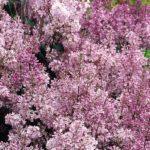 syringa-lilac-minuet